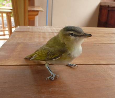 Red-eyed Vireo  recovering from a brush with our window