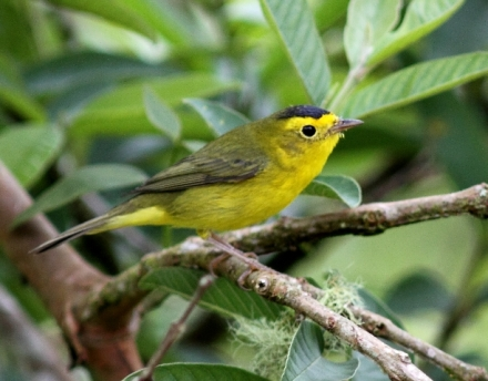 Male Wilson's Warbler in Costa Rica, courtesy of Karel Straatman