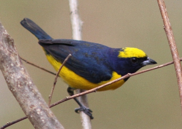 Yellow-crowned euphonia (1)