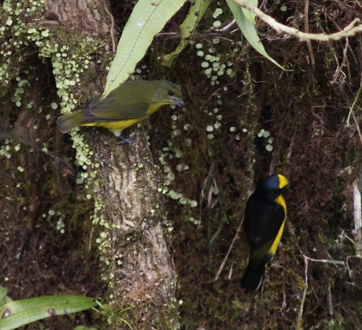 Pair of Yellow-throated Euphonias