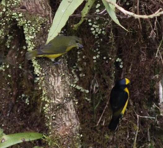Pair of Yellow-throated Euphonias