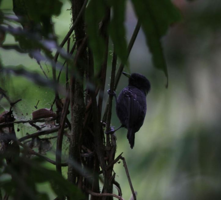 Male Dusky Antbird or male Slaty Antwren? What do you think?