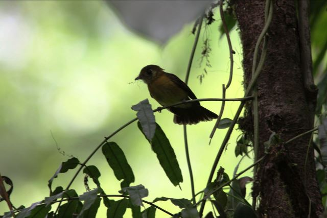 Another suspected Antbird, we assume a female. Any ideas?