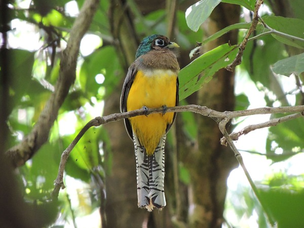 black-throated_trogon_juv_male_B