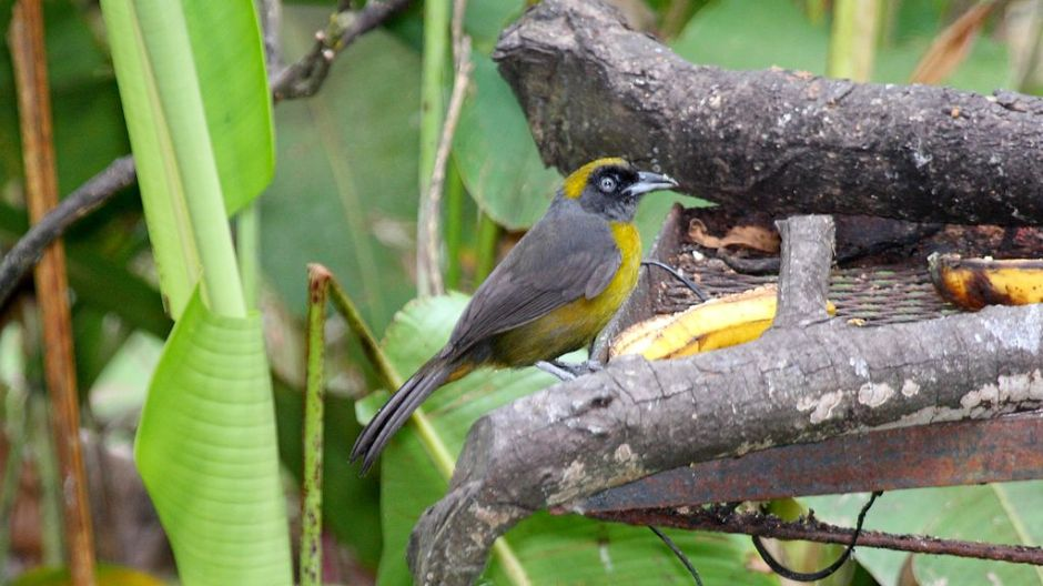 """Dusky-faced Tanager (Mitrospingus cassinii)"" - by Dominic Sherony [CC BY-SA 2.0], via Wikimedia Commons"