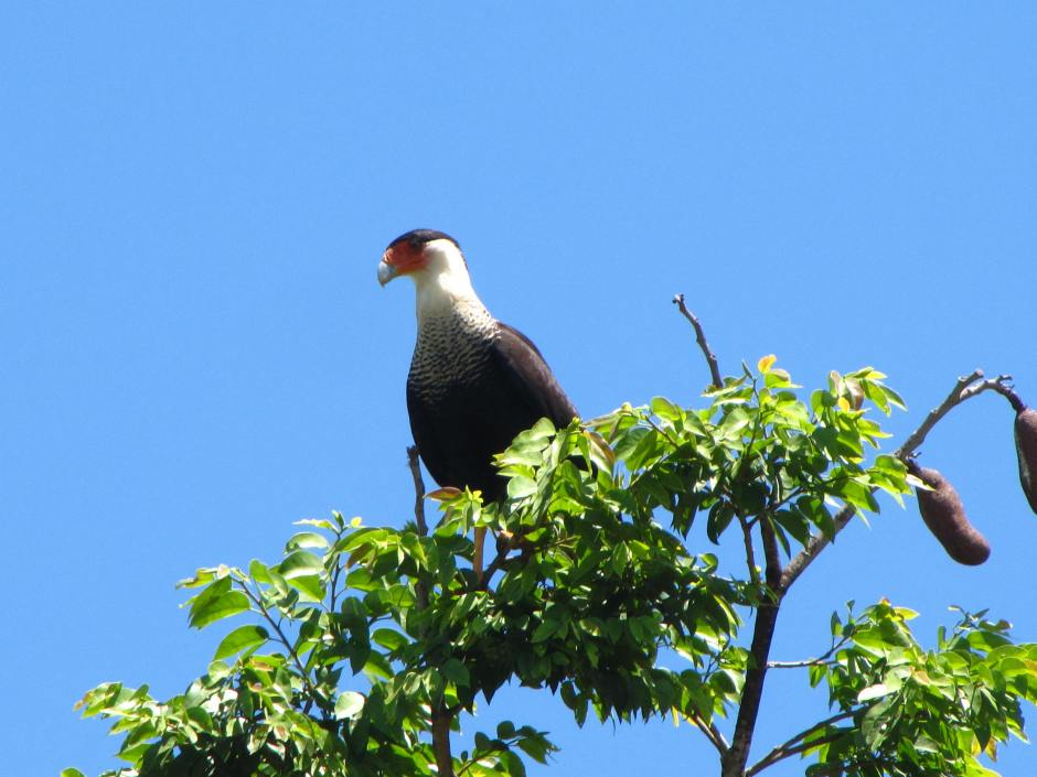 Crested Caracara, courtesy of Pablo Z.