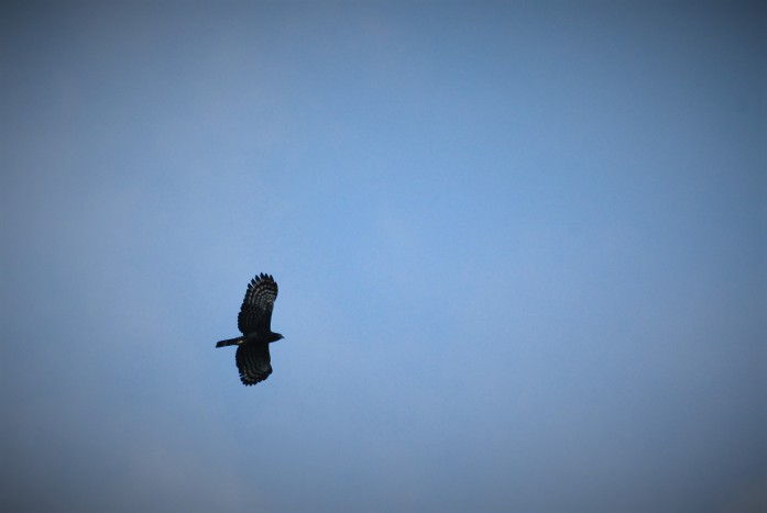 Black Hawk-eagle in flight over Pavones, Turrialba