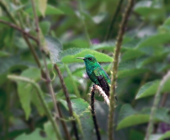 Male Garden Emerald, courtesy of Steven Aguilar