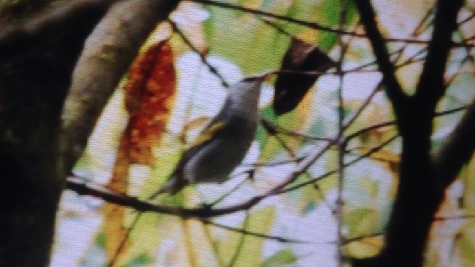 We knew it was a Golden-winged Warbler, but an unusual one!