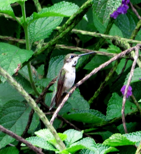 Immature male Ruby-throated Hummingbird; spots on throat look black here