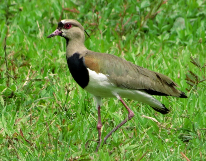 One of a pair of breeding Southern Lapwings at Casa Turire, Turrialba