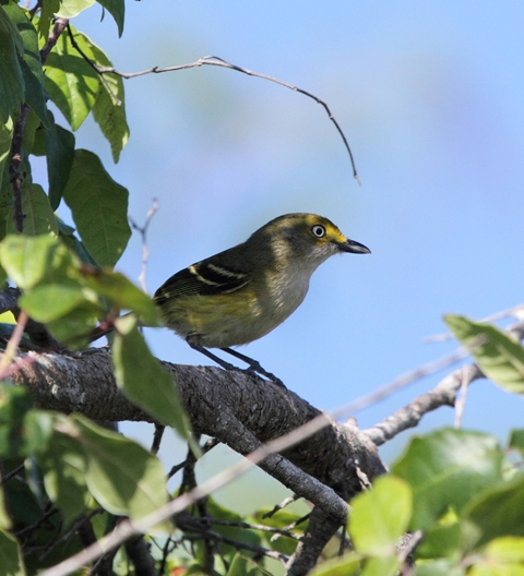 White-eyed Vireo in Florida, courtesy of Karel Straatman