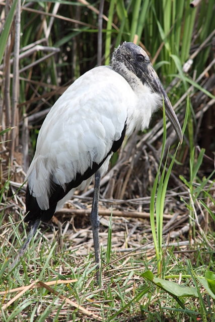 Wood Stork on the ground, this one in Florida.