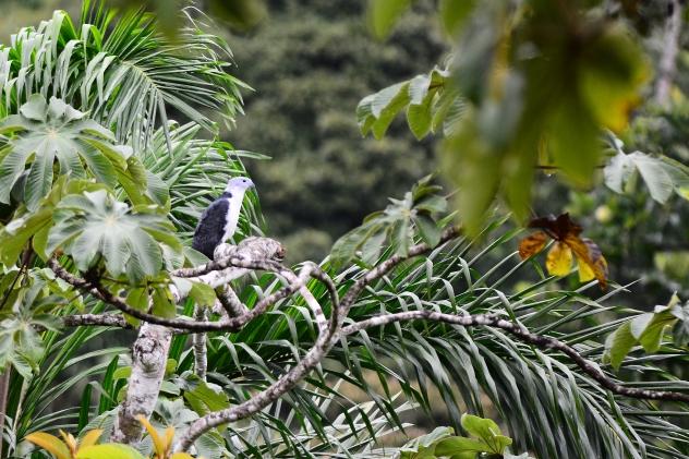 Gray-headed Kite near El Copal