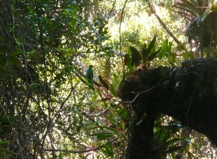 Male Resplendent Quetzal at home on the Turrialba Volcano