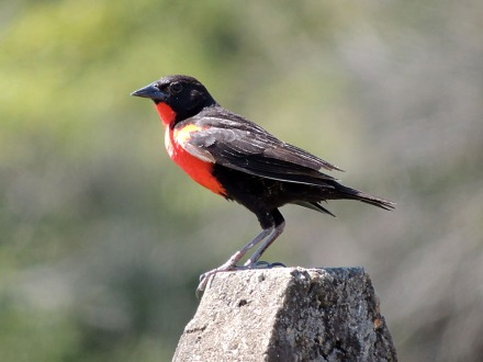 A Red-breasted Meadowlark sits up and grabs attention.