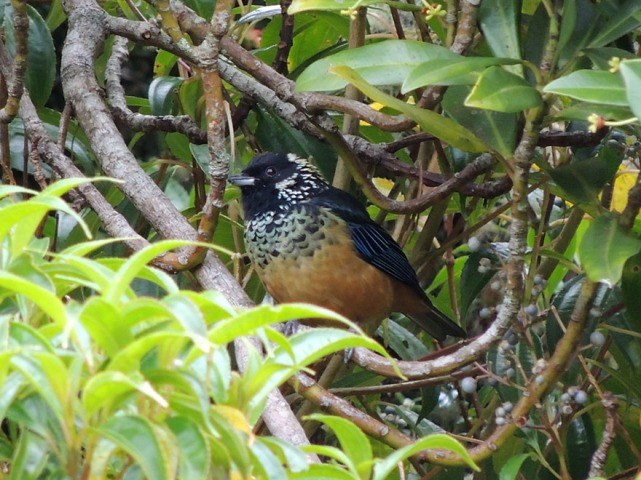 Spangle-cheeked Tanager, a highland species