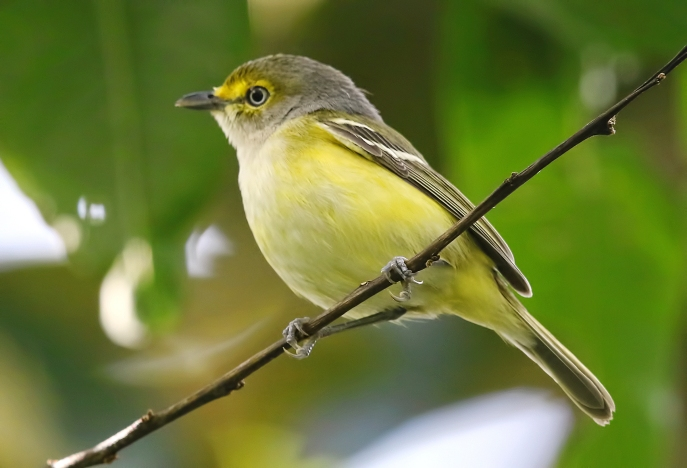 White-eyed Vireo (Vireo griseus), courtesy of Wayne Easley
