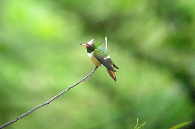 Male White-crested Coquette