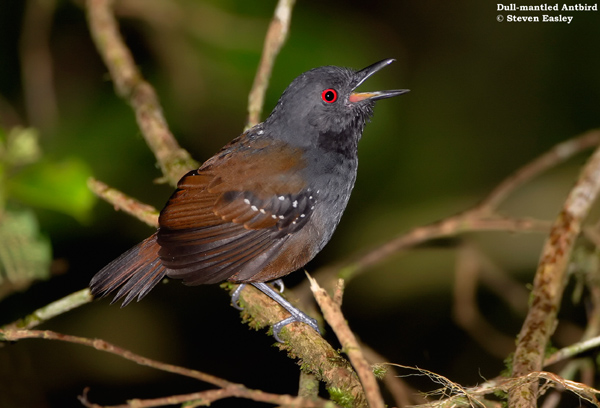 Dull_mantled_Antbird_web1