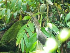 Fasciated tiger-heron juv. at Las Truchas