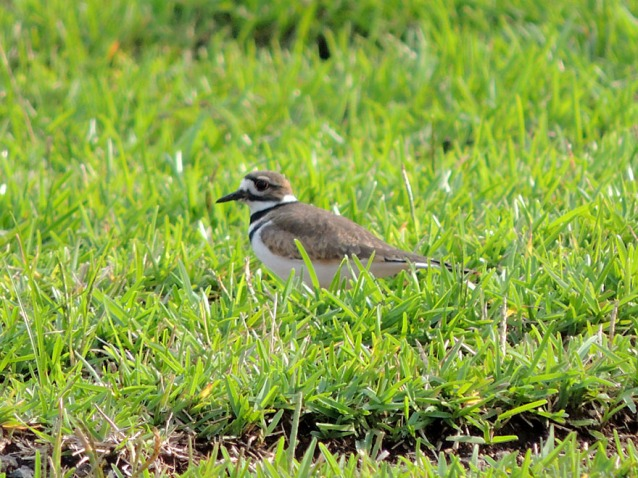 Killdeer in Costa Rica