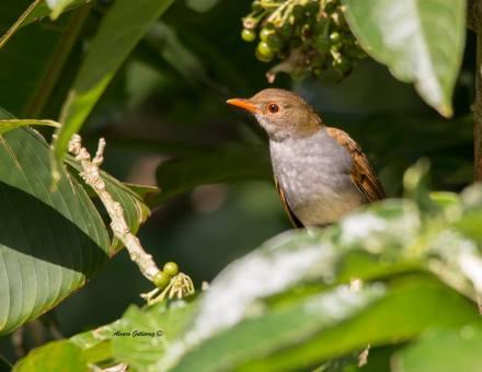 Orange-billed Nightingale-Thrush, courtesy of Alvaro Gutierrez
