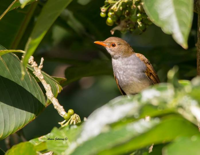 Orange-billed Nightingale-Thrush, courtesy of Alvaro Gutierrez