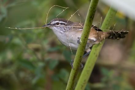Plain Wren - San Antonio Costa Rica - Jan 2 2016 web  image