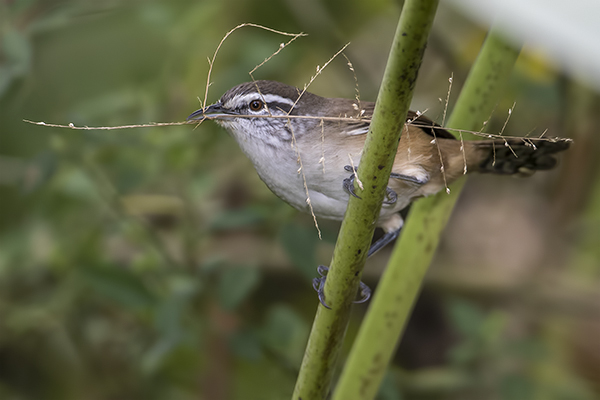 Plain Wren - San Antonio Costa Rica - Jan 2 2016 web  image