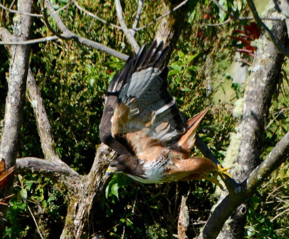 Red-tailed HawkLarry