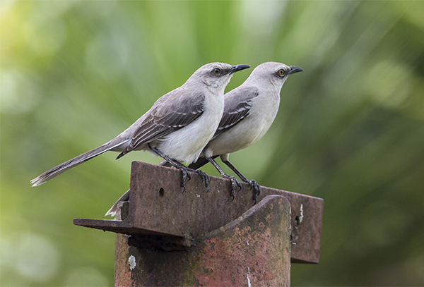 Tropical Mockingbird 2 - San Antonio Costa Rica - Jan 2 2016 web image