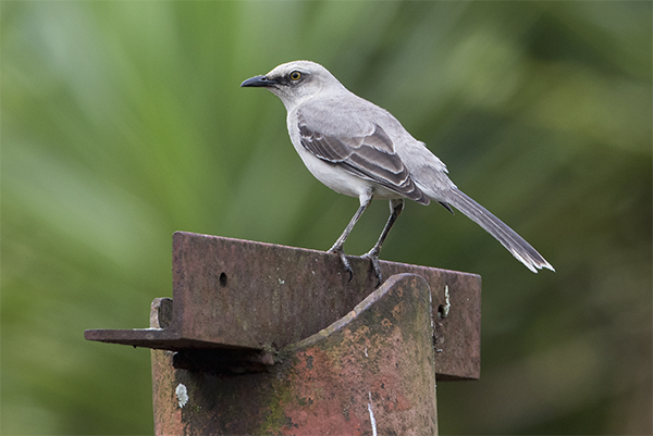 Tropical Mockingbird - San Antonio Costa Rica - Jan 2 2016 web image
