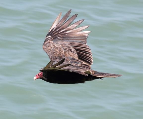 102 Turkey vulture Calif. 6-4-12 (3)