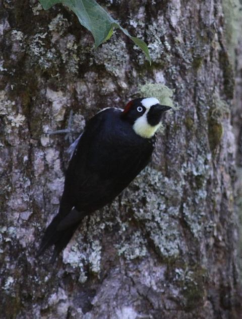 Acorn woodpecker (2).jpg