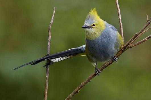 Long-tailed_Silky-flycatcher_-_Ptiliogonys_caudatus