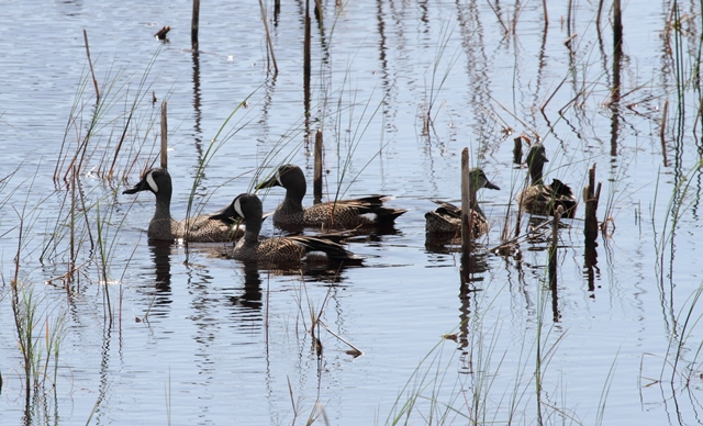77 Blue-winged teal Florida 21-3-12 (17)
