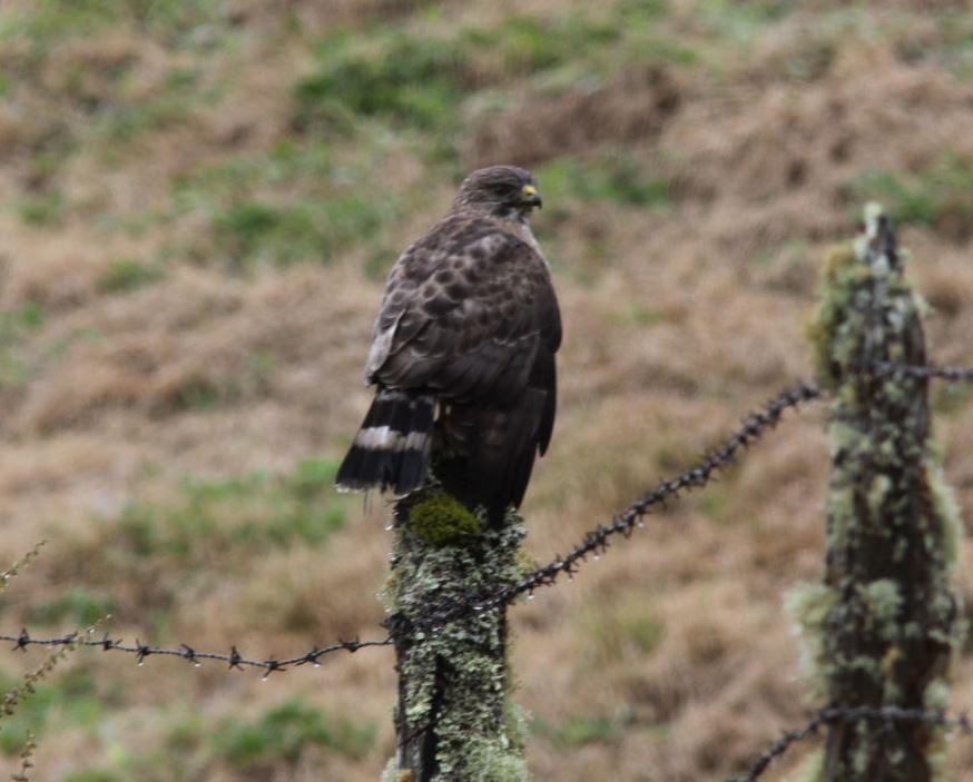 Broad-winged hawk..... (2)