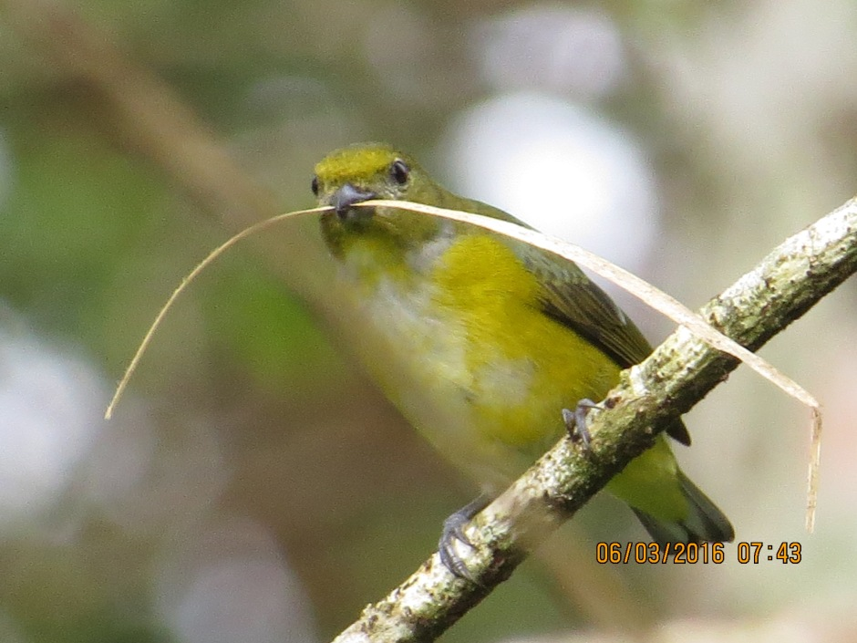 Euphonia, Yellow- throated (Female, Santa Rosa, garden)   (2)