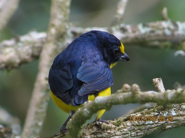 Euphonia, Yellow throated (male garden Santa Rosa)