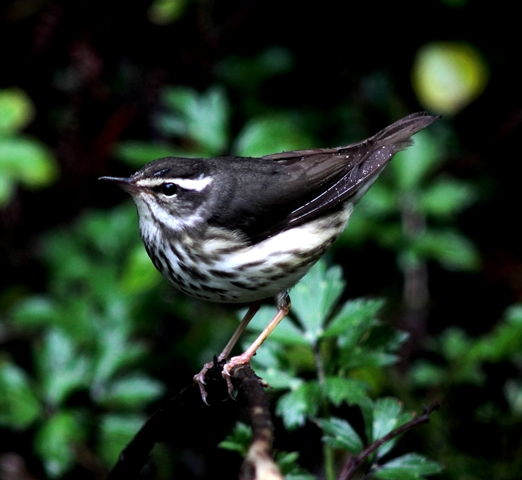 Louisiana waterthrush CR (23) Web