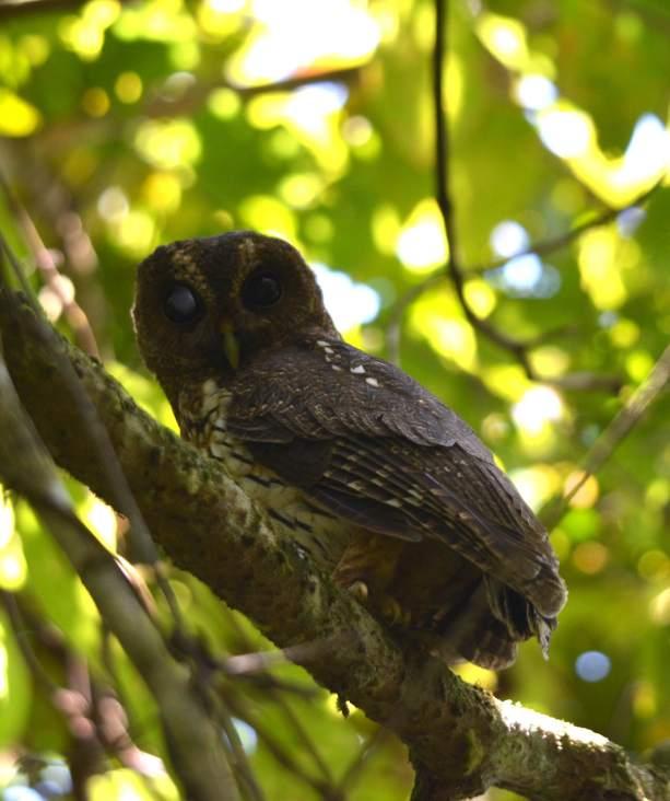 Mottled Owl Larry San Rafael