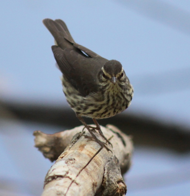 Northern waterthrush (1)Web