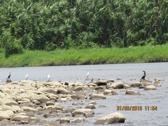 Reventazon Water Birds