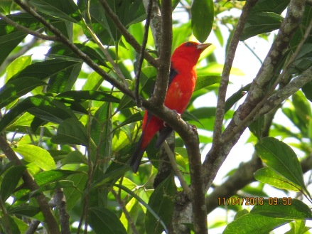 Tanager, scarlet, male Siquirres