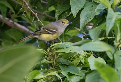 White-eyed Vireo - San Antonio Costa Rica - Jan 2 2016 web  image