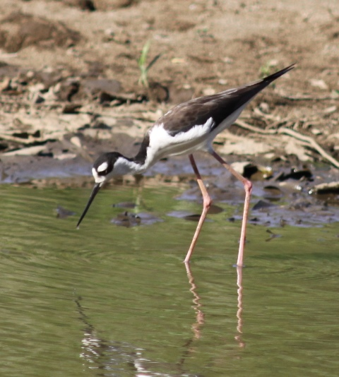 Black-necked stilt (1)