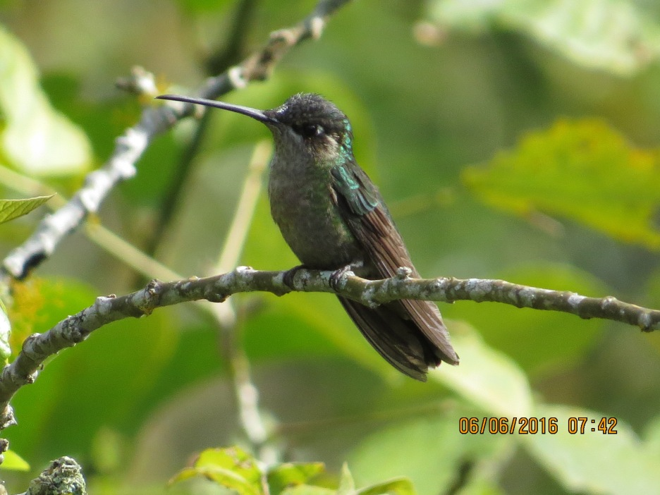 First Magnificent Hummingbird here at home in San Antonio