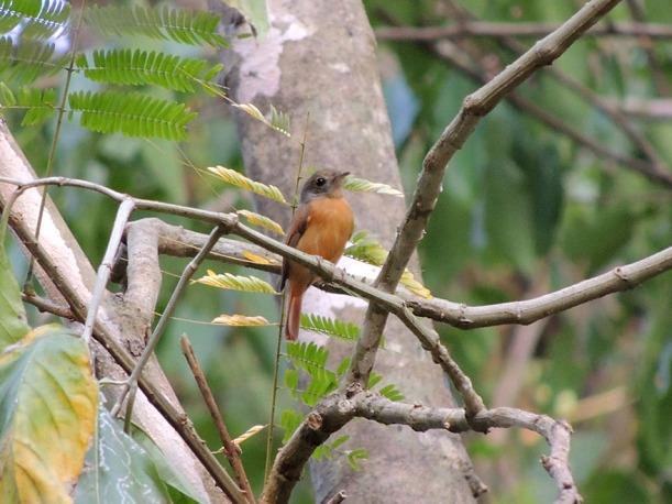 ruddy-tailed_flycatcher_1_B