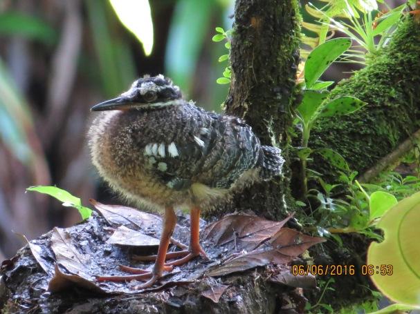 Sunbittern, fedgling-nest, San Antonio (1)